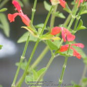 Location: My garden in Northern KYDate: 2013-08-13Flowers are a darker color