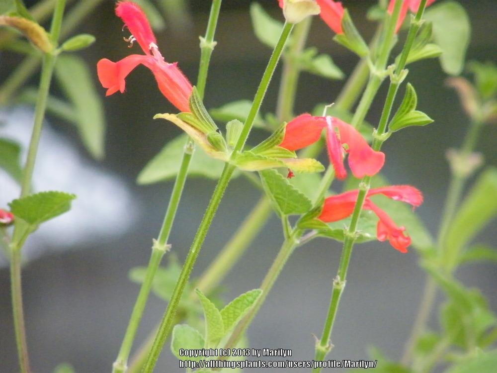 Photo of Scarlet Rooster Sage (Salvia dichlamys) uploaded by Marilyn