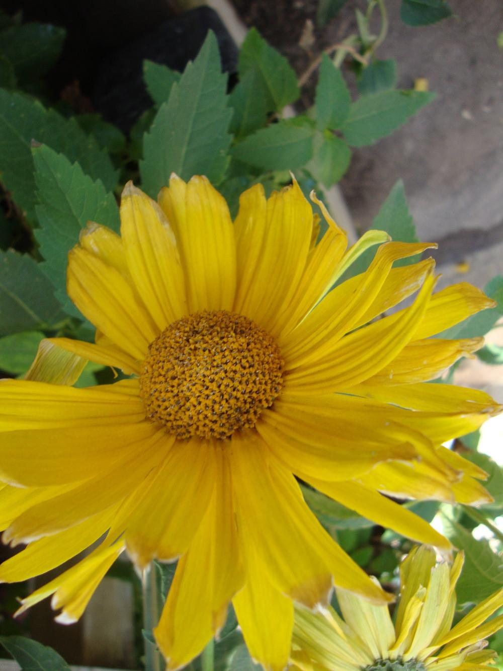 Photo of Oxeye Sunflower (Heliopsis helianthoides var. scabra 'Venus') uploaded by Paul2032