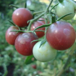 The Top Tomatoes, Peppers and Eggplants