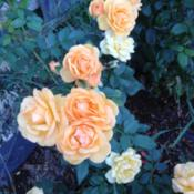 Location: Denver Metro CODate: 2013-08-19bad picture of a beautiful rose.