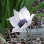 Location: Critter's garden in Frederick MDDate: 2013-04-18The center medallion really, truly is this bluer than blue color,