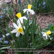 Location: Critter's garden in Frederick MDDate: 2013-04-11blooming with Scilla siberica