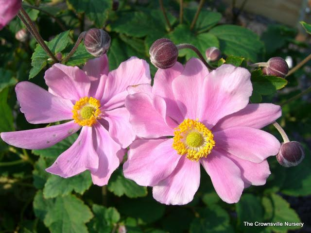 Photo of Japanese Anemone (Eriocapitella hupehensis 'Serenade') uploaded by vic
