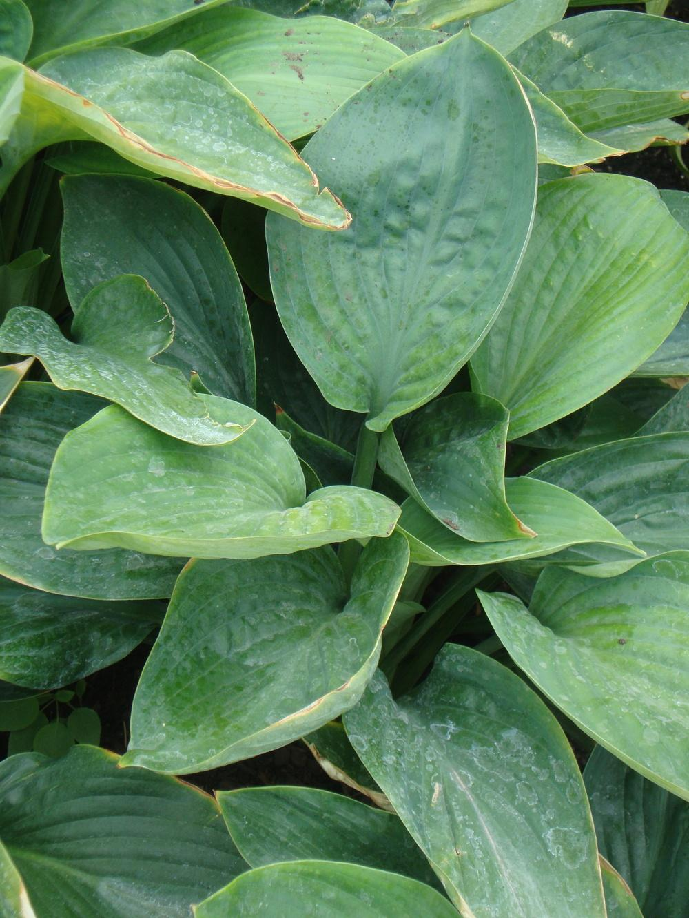 Photo of Hosta 'Empress Wu' uploaded by Paul2032