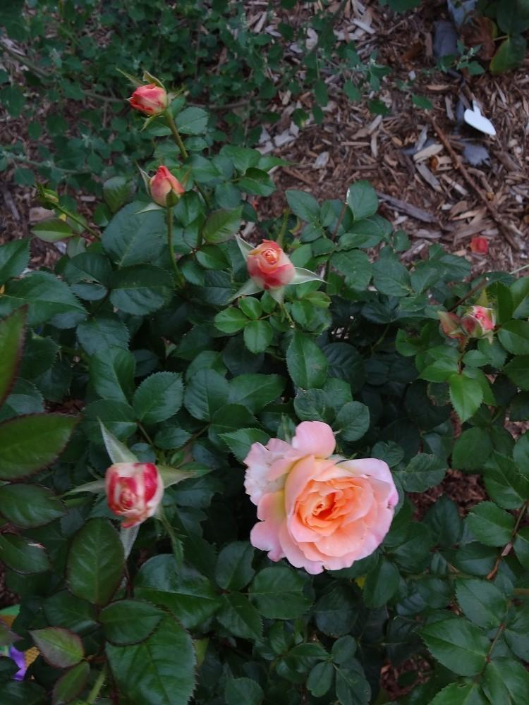 Photo of Rose (Rosa 'Day Breaker') uploaded by Skiekitty