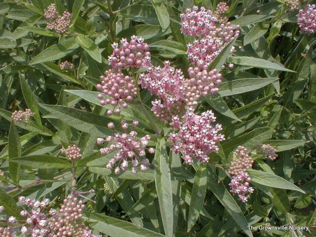 Photo of Swamp Milkweed (Asclepias incarnata) uploaded by vic