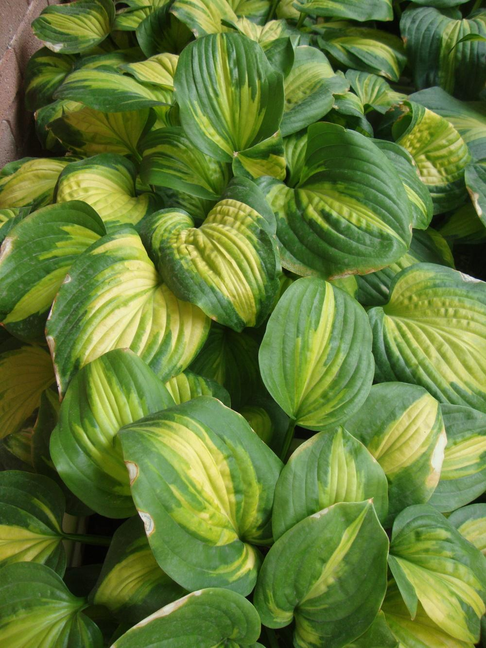 Photo of Hosta 'Cathedral Windows' uploaded by Paul2032
