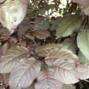 Location: Denver Metro CODate: 2013-08-22Closeup of the leaves, mid summer.  They never turn fully green b