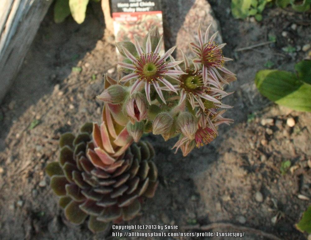 Photo of Hen and Chicks (Sempervivum 'Ruby Heart') uploaded by 4susiesjoy