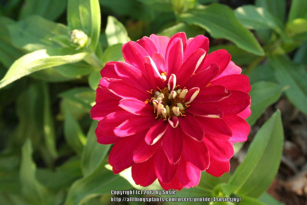 Photo of Zinnia Zahara™ Double Cherry uploaded by 4susiesjoy