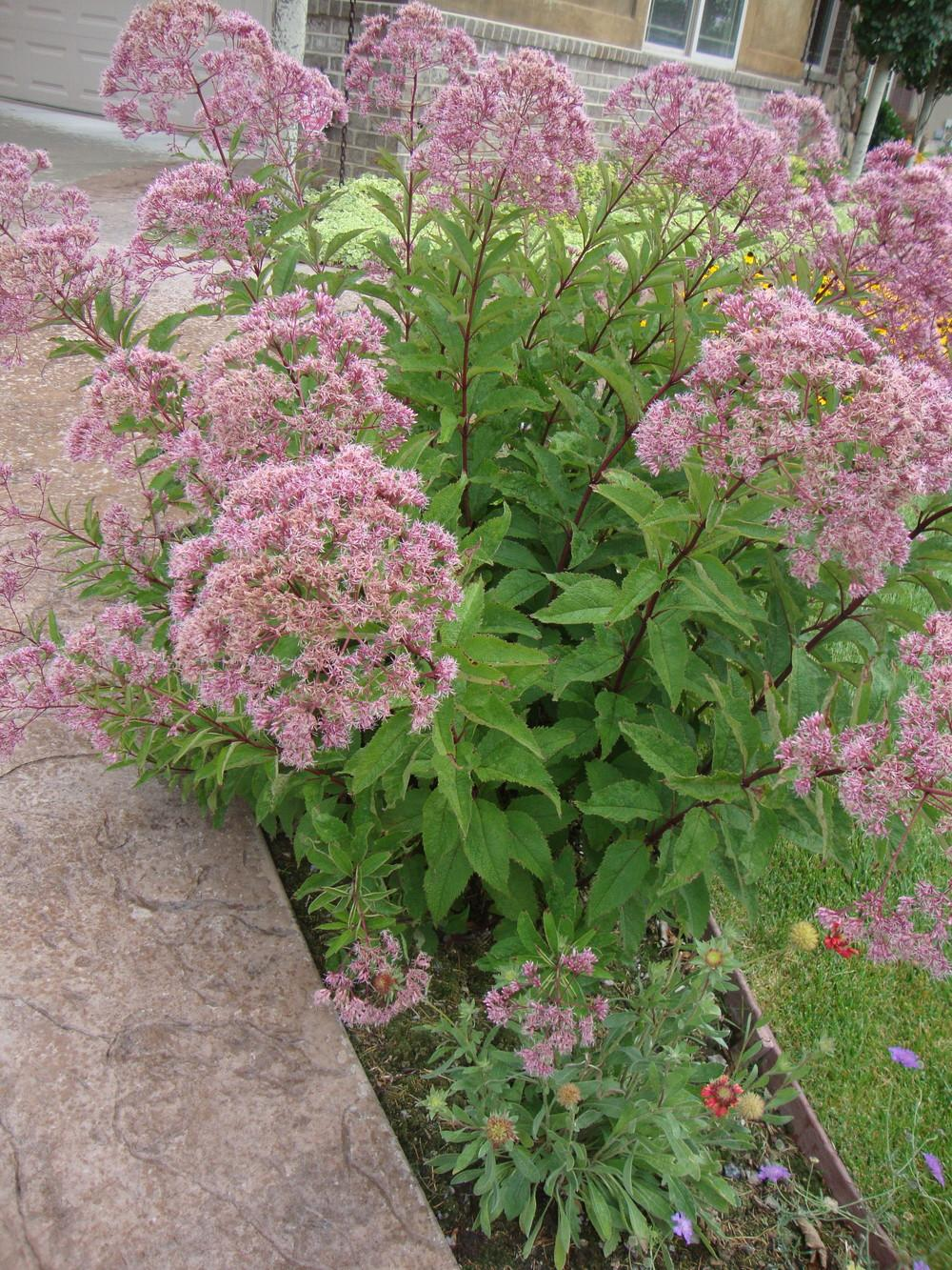 Photo of Joe Pye Weed (Eutrochium maculatum 'Atropurpureum') uploaded by Paul2032