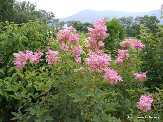 photo of the entire plant of queen of the prairie filipendula rubra 39 venusta 39 posted by vic. Black Bedroom Furniture Sets. Home Design Ideas