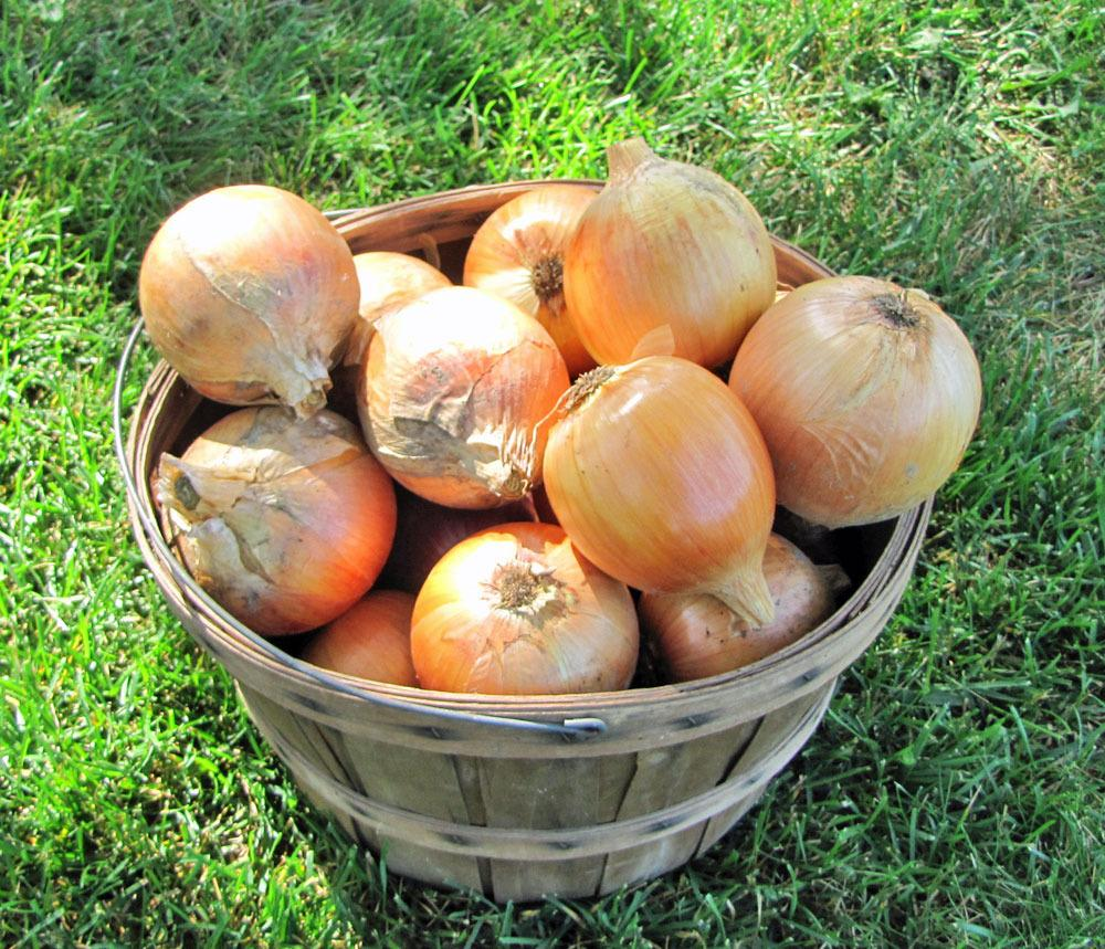 How to plant onion sets in open ground