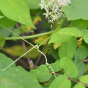 Location: Vaughan, ON, Canada (Zone 5b)Date: 2013-08-22Tendrils