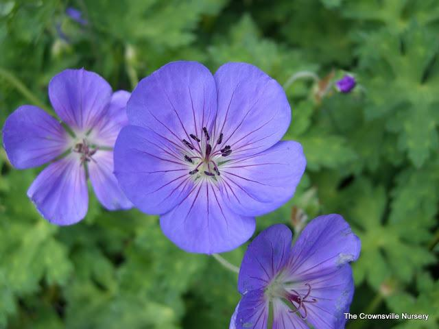 Photo of Hardy Geranium (Geranium 'Jolly Bee') uploaded by vic
