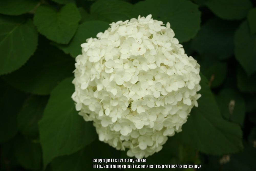 Photo of Smooth Hydrangea (Hydrangea arborescens 'Annabelle') uploaded by 4susiesjoy