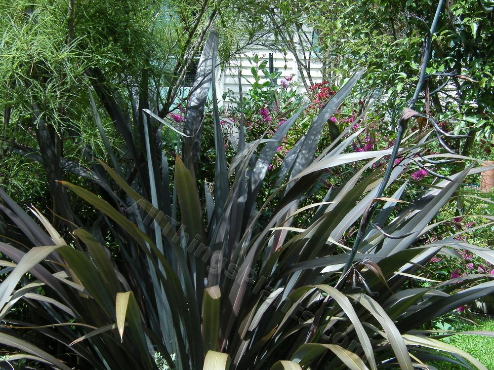 photo of the entire plant of new zealand flax phormium 39 black rage 39 posted by bootandall. Black Bedroom Furniture Sets. Home Design Ideas
