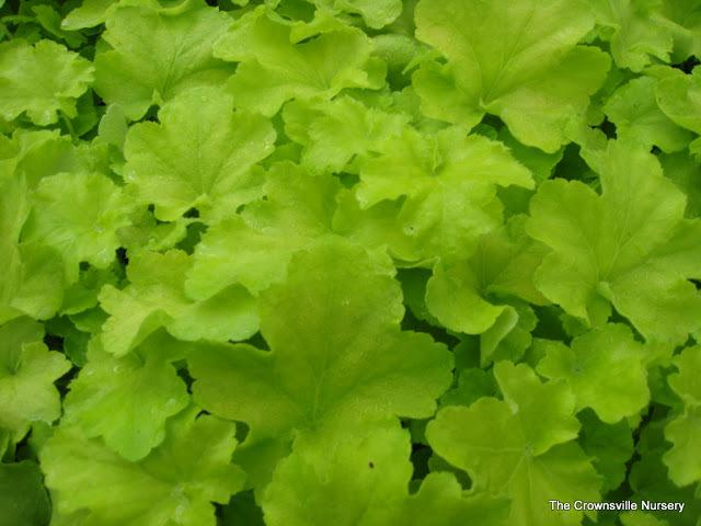 Photo of Coral Bells (Heuchera villosa 'Citronelle') uploaded by vic