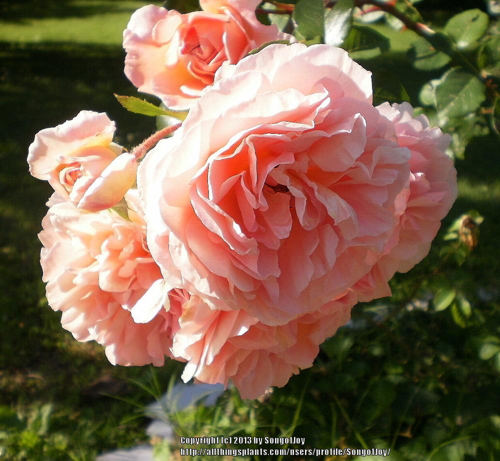 Photo of Rose (Rosa 'Abraham Darby') uploaded by SongofJoy