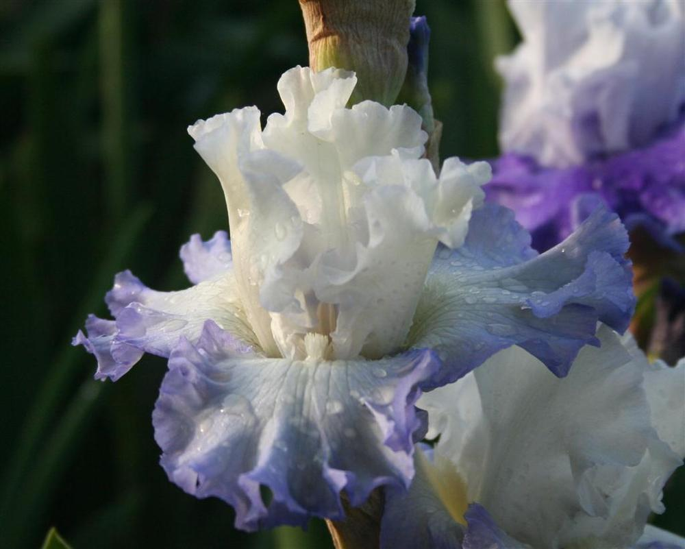 Photo of Tall Bearded Iris (Iris 'Love Match') uploaded by KentPfeiffer