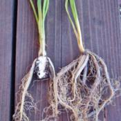 Location: northern california zone 9bDate: 2013-08-14Crystal Blue Persuasion root system showing division of crown.