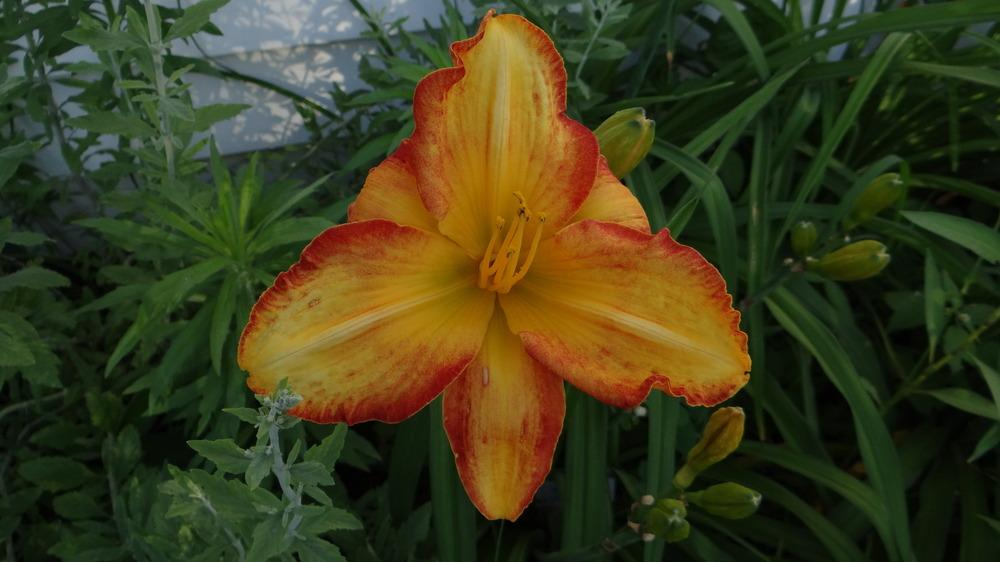 Photo of Daylily (Hemerocallis 'Fire Burst') uploaded by snickerspooh