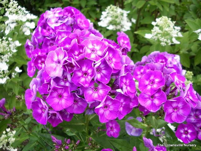 Photo of Garden Phlox (Phlox paniculata 'Laura') uploaded by vic