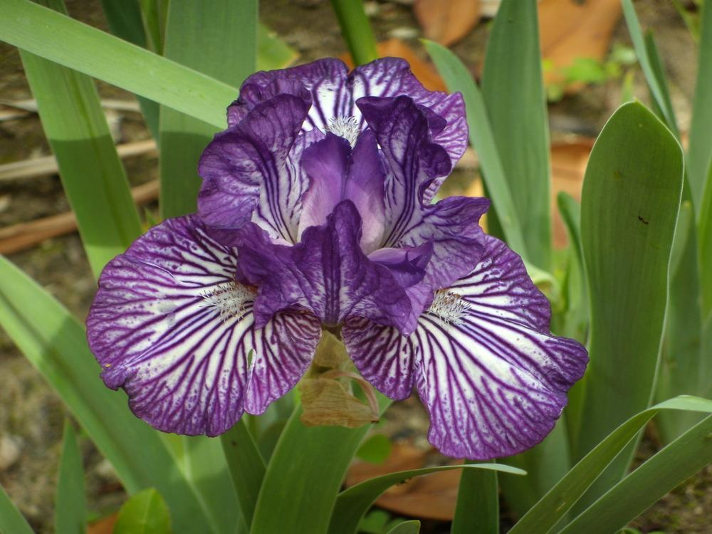 Photo of Intermediate Bearded Iris (Iris 'Line Drive') uploaded by Betja