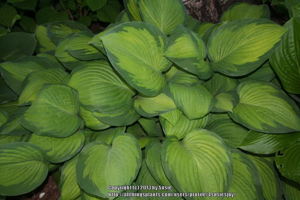 Photo of Hosta 'Gold Standard' uploaded by 4susiesjoy