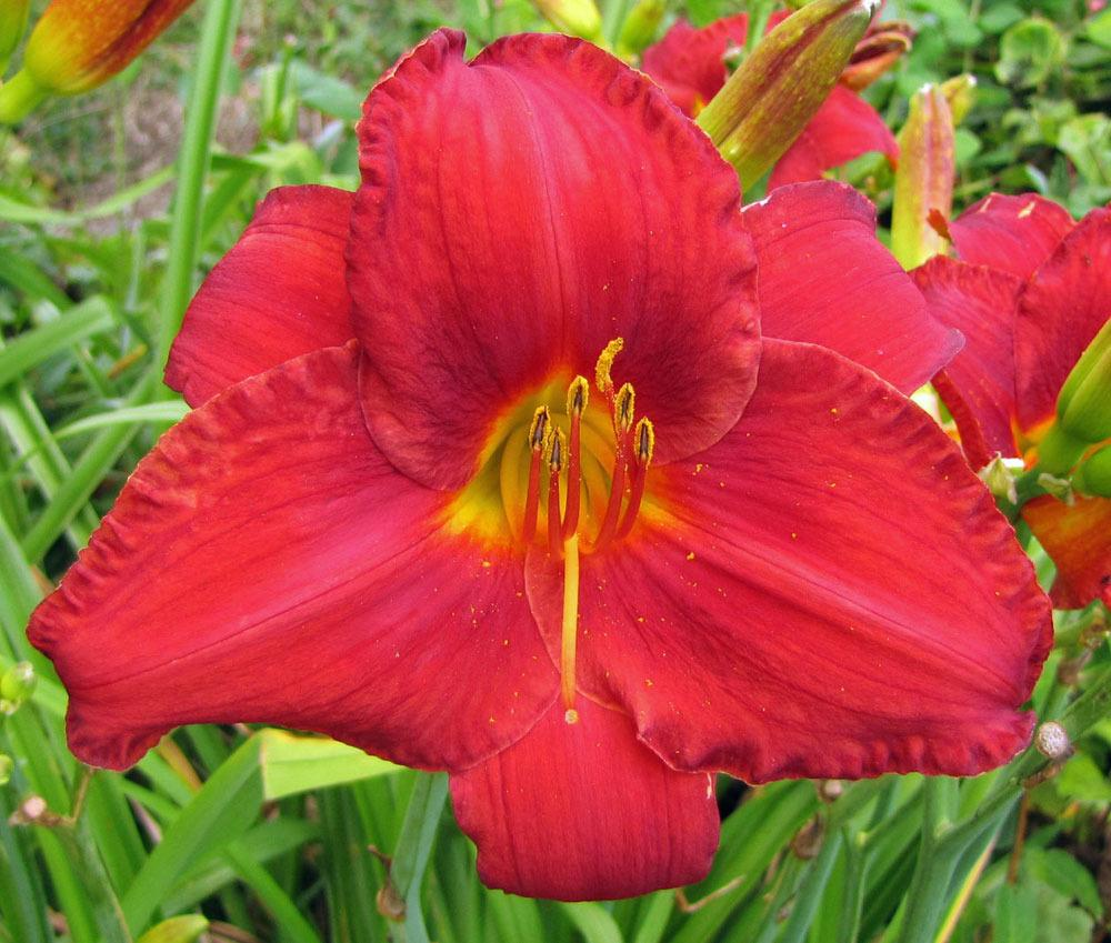 Photo of Daylily (Hemerocallis 'Chicago Apache') uploaded by TBGDN