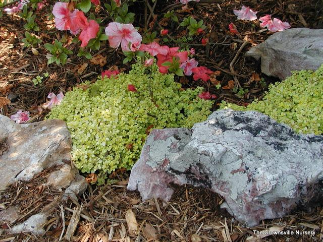 Photo of Japanese Woodland Stonecrop (Sedum makinoi 'Ogon') uploaded by vic