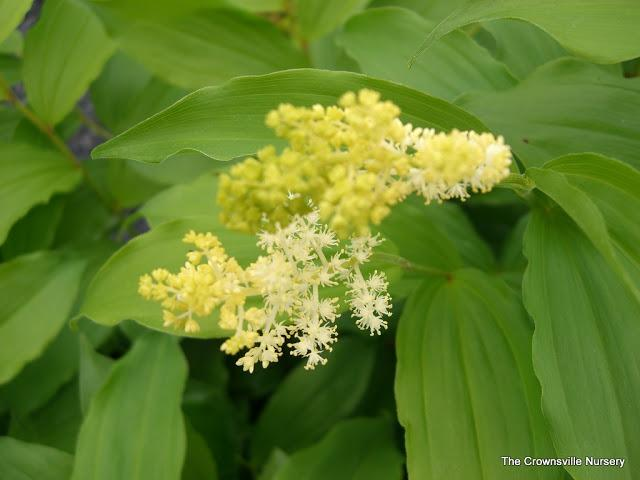 Photo of False Solomon's Seal (Maianthemum racemosum subsp. racemosum) uploaded by vic