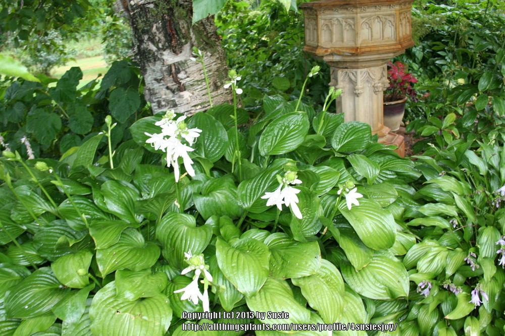 Photo of Hosta 'Royal Standard' uploaded by 4susiesjoy