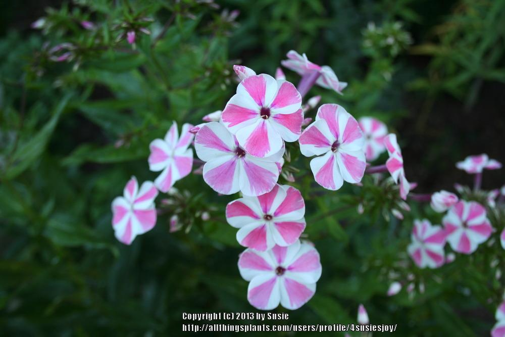 Photo of Phlox (Phlox paniculata 'Peppermint Twist') uploaded by 4susiesjoy