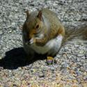 Add Cracked Corn to Your Birdseed Mix and Feed the Squirrels