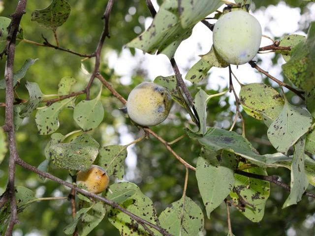 Photo of American Persimmon (Diospyros virginiana) uploaded by gingin