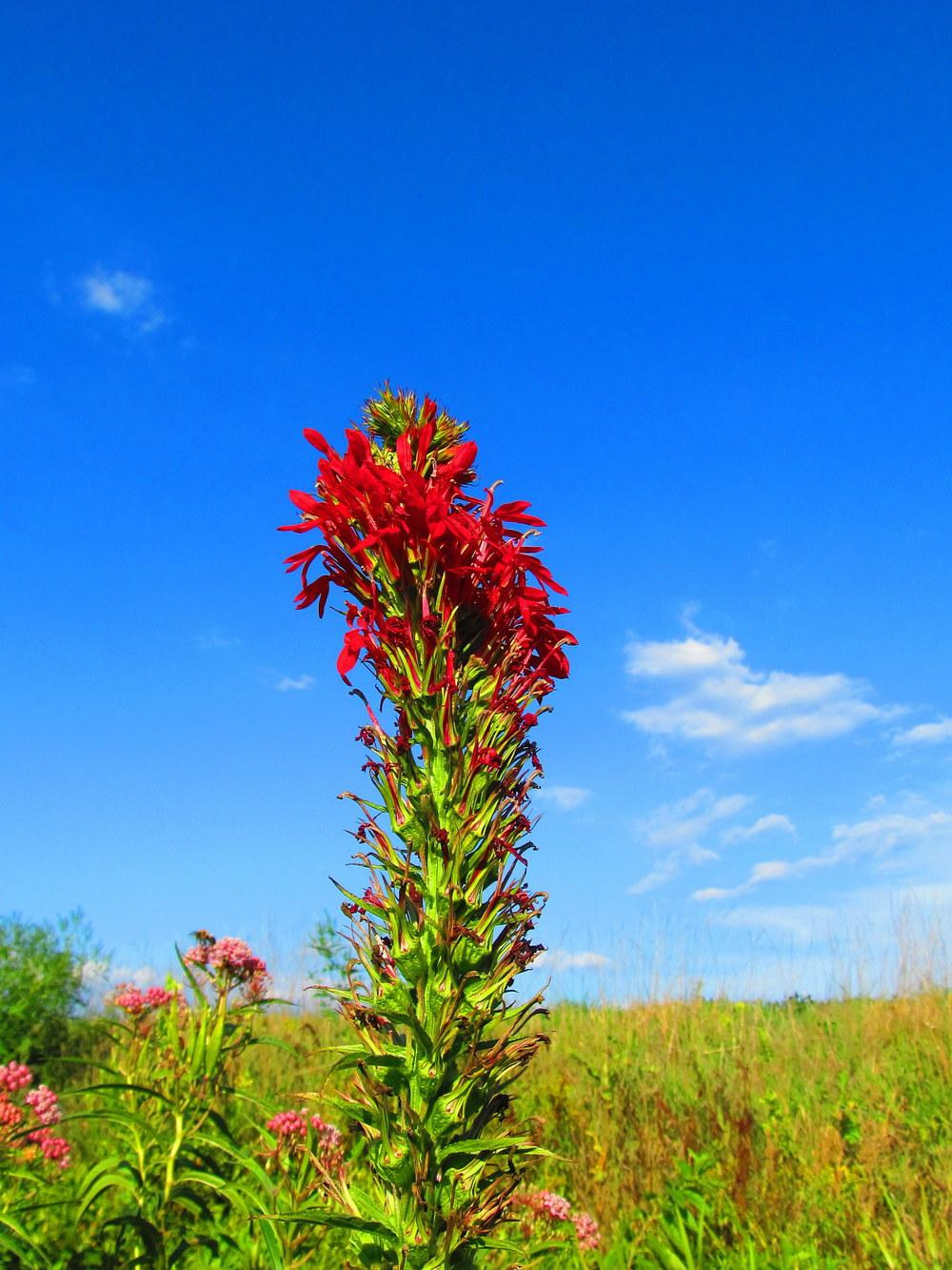 Photo of Cardinal Flower (Lobelia cardinalis) uploaded by jmorth