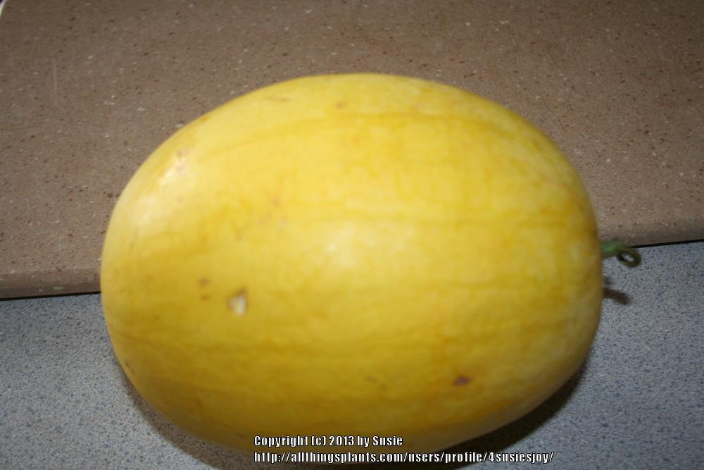 Photo of Watermelon (Citrullus lanatus 'Golden Crown') uploaded by 4susiesjoy