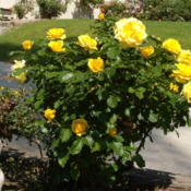 Location: My garden in Bakersfield, CADate: 2013-04-10