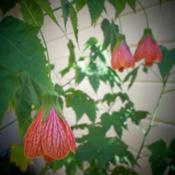 Location: DeLand, FloridaDate: 2011-09-29Also called Red veined Indian Mallow;...this little beauty with h