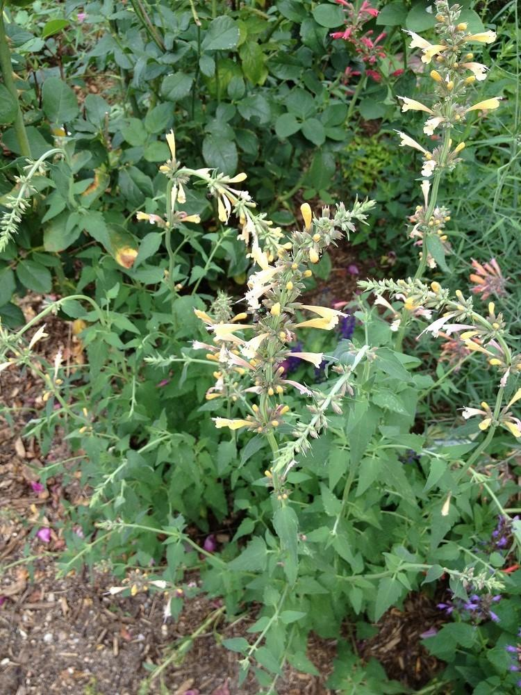 Photo of Mexican Giant Hyssop (Agastache mexicana Acapulco® White & Yellow) uploaded by Skiekitty