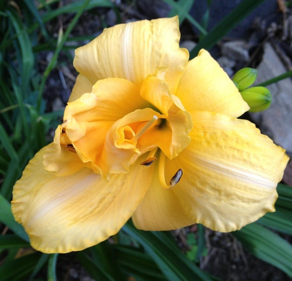 Photo of Daylily (Hemerocallis 'Zada Mae') uploaded by bxncbx