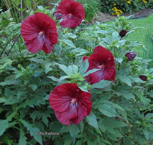photo of the entire plant of hibiscus hibiscus moscheutos. Black Bedroom Furniture Sets. Home Design Ideas