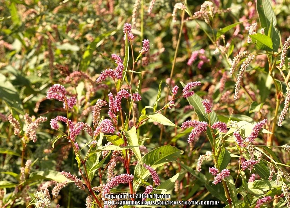 Photo of Curl-Top Smartweed (Persicaria lapathifolia) uploaded by bonitin