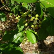 Location: Long Island, NY Date: 2013-09-05Green berries not ripe and turn red later.