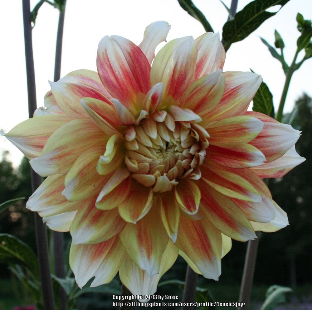 Photo of Dahlia 'Peaches and Cream' uploaded by 4susiesjoy