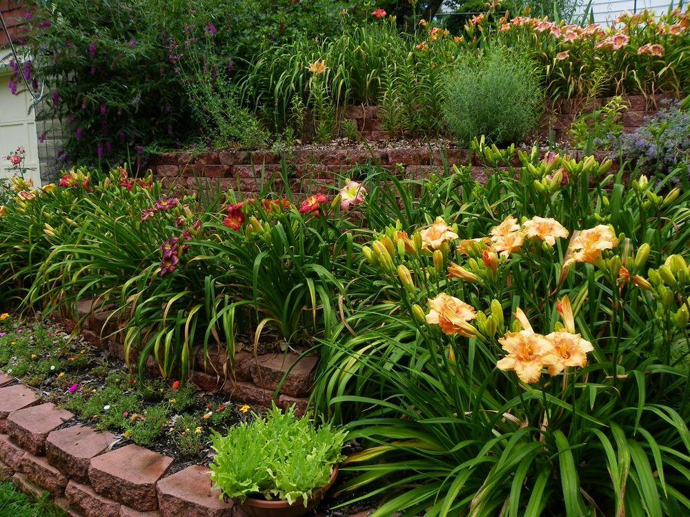 Daylilies In A Cottage Garden