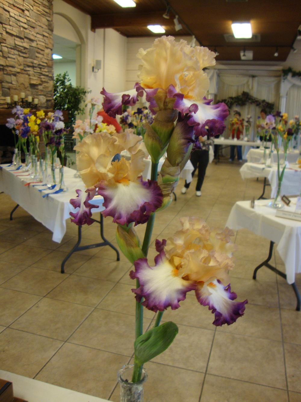 Photo of Tall Bearded Iris (Iris 'Brouhaha') uploaded by Paul2032