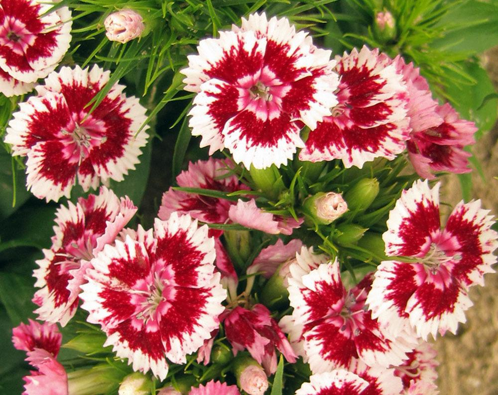 Photo of Sweet William (Dianthus barbatus) uploaded by TBGDN
